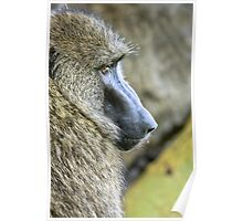 Close-up portrait of an Olive baboon (Papio anubis) Poster