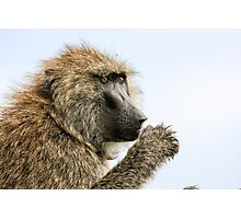 Close-up portrait of an Olive baboon (Papio anubis) Photographic Print