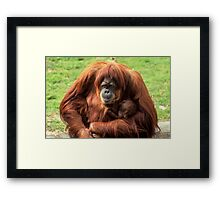 Sumatran orangutan mother with infant In a zoo Framed Print