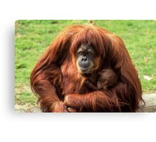 Sumatran orangutan mother with infant In a zoo Canvas Print