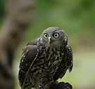 barking owl by Donovan Wilson