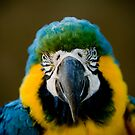 Face of Blue and Gold Macaw by Playful Photo