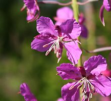 Fireweed by Robert Phelps