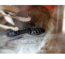 Broad-Headed Snake (hpolocephalus bungaroides) Photographic Print