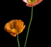 Poppies by prbimages