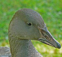 A Lesser Snow Goose Gosling by AARDVARK