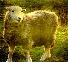 Herdwick Sheep - Textured by Marilyn Harris