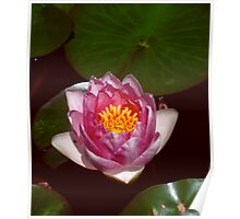 Pink Water Lily Opening Poster