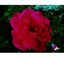 Rose 7 Photographic Print