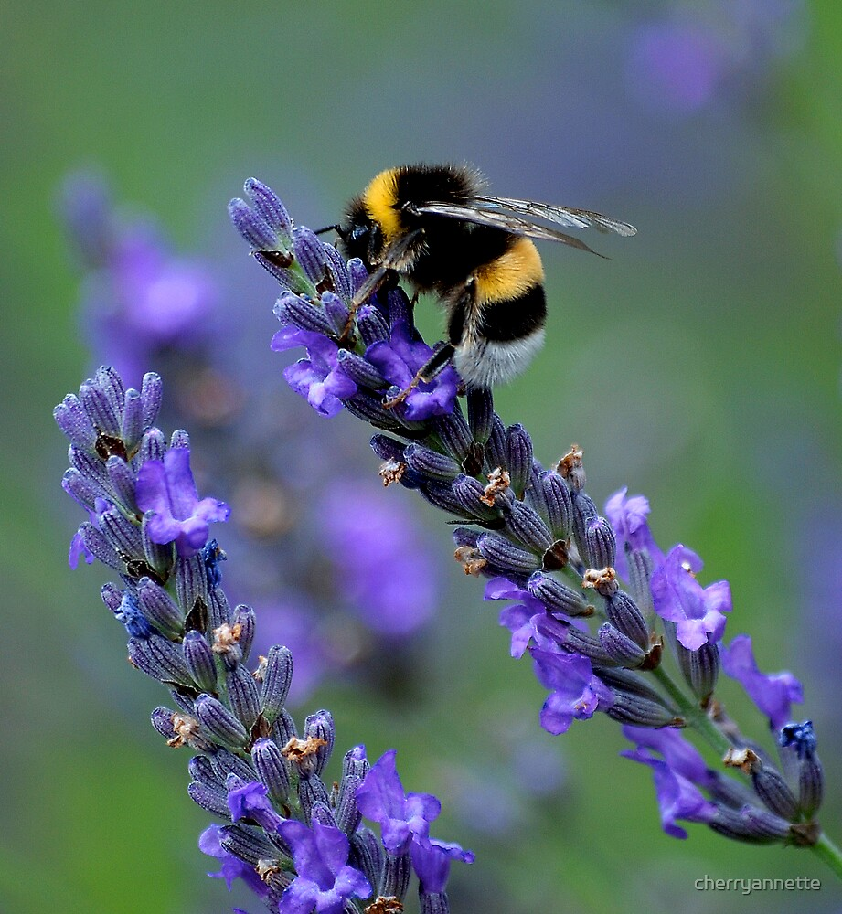 Bee on lavender by cherryannette