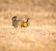 Prairie Chicken 2013-13 by Thomas Young