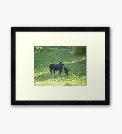 Grazing Moose Framed Print
