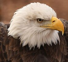 Bald Eagle by Gregg Williams