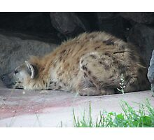 Spotted Hyena In Captivity ... Toronto Zoo Photographic Print