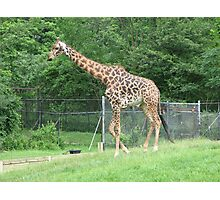 The Giraffe ...Toronto Zoo Photographic Print