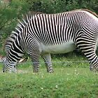 Zebra....Toronto Zoo by gypsykatz