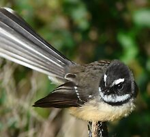 Fantail by Peter Deverell