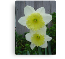 Double Daff Canvas Print