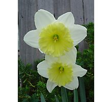 Double Daff Photographic Print