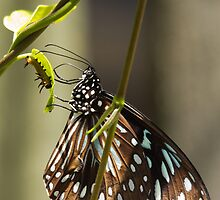 Blue Tiger Butterfly and Caterpillar by Darren Williamson