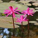 Pink Waterlilies by Sandy1949
