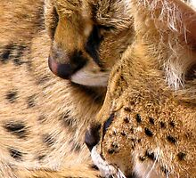 African Servals (Leptailurus serval) by Marilyn Harris