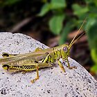 Grasshopper on White Stone by Kenneth Keifer