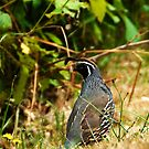 Quail by David Friederich