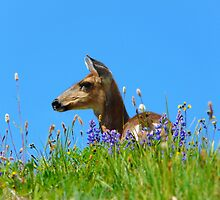 Deer....  Olympic National Park, Washington by Koala