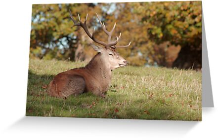 The Boss Stag (Red Deer) by Trevor Kersley