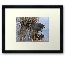 swamp hen Framed Print