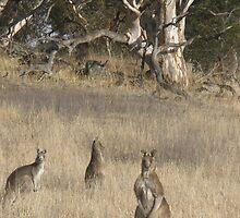 3 Kangaroos in Golden Grass  by Anthea  Slade