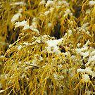 Gentle Snow - Golden Mop by Paul Gitto