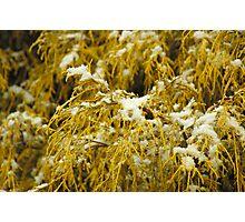 Gentle Snow - Golden Mop Photographic Print