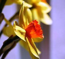 Daffodil by RedWine