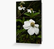 Pacific Dogwood Blossums Greeting Card