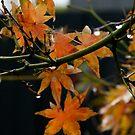 Autumn Maple by HeidiD