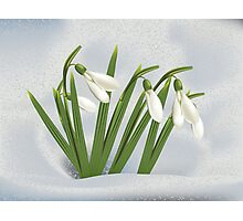 Snowdrops in snow Photographic Print