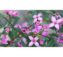 Boronia deanei subsp. acutifolia Photographic Print