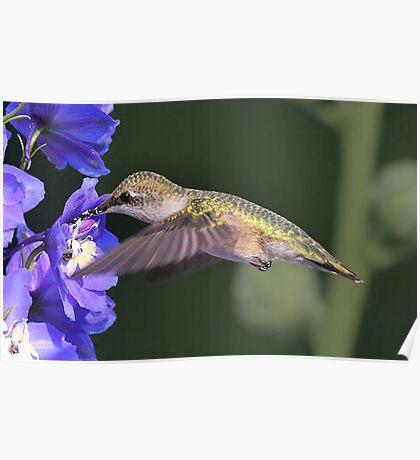 Female Hummingbird Poster