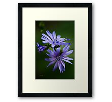 Chicory Flowers Framed Print