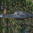 American Alligator (Alligator mississippiensis) 20D0017561 by Cristian