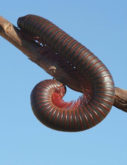 American Giant Millipede (Narceus americanus) 20D0021024 by Cristian