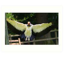 The King Vulture In flight.... Art Print