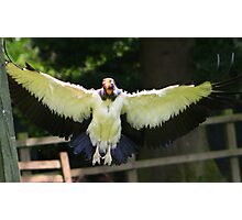 The King Vulture In flight.... Photographic Print