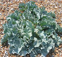 Sea kale by KatieBird