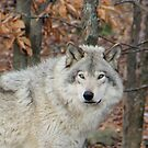 Timberwolf. by vette
