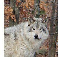 Timberwolf. Photographic Print