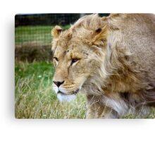 Teenage Lion Canvas Print