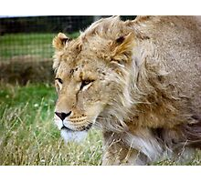 Teenage Lion Photographic Print